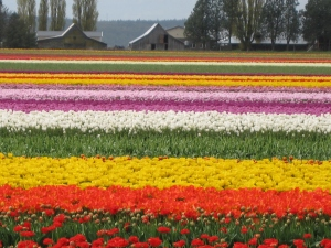 Multicolored Tulips by Kat
