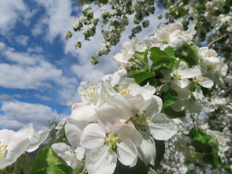 Apple blossom.1