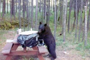 greenhorns bear